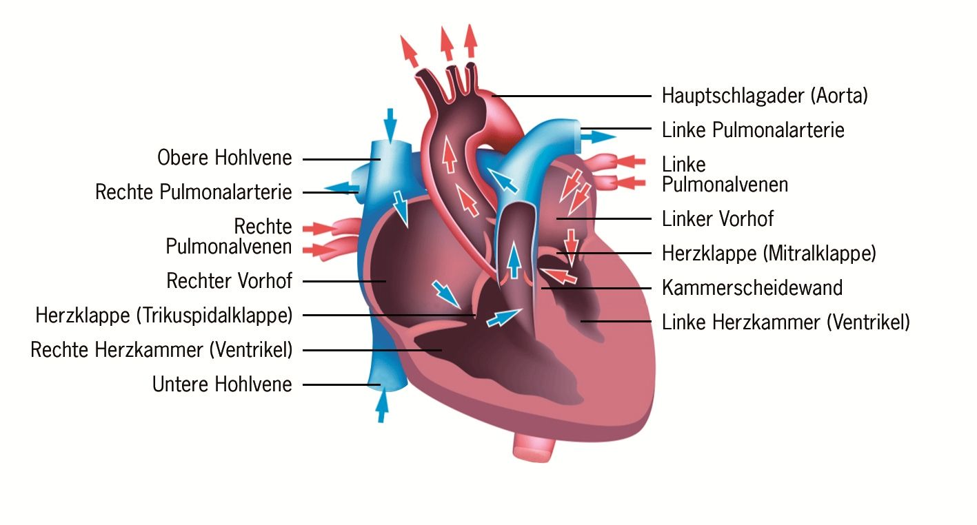 Wie funktioniert das Herz? Über die Arbeit und den Aufbau eines ...
