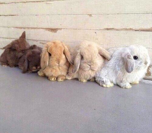 まるでぬいぐるみ たれ耳ウサギ ロップイヤー に癒やされて かわいい動物の赤ちゃん 美しい動物 子ウサギ