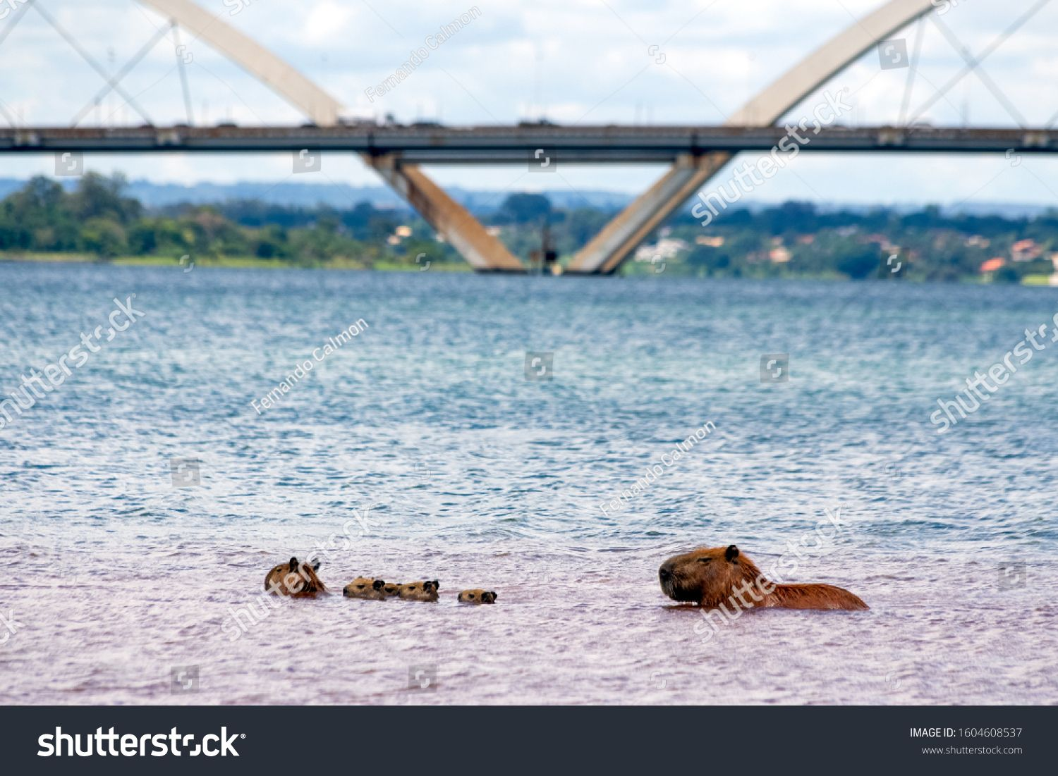 Two capybaras and their young swimming in front of JK Bridge in Parano¨¢ Lake in Brasilia, Brazil. The capybara is the largest rodent in the world. Species Hydrochoerus hydrochaeris. Wildlife. Cerrado #Ad , #ad, #Parano#Bridge#Brasilia#Lake
