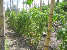 CONTROL DE ENFERMEDADES: hay una gran gama de microorganismos que afectan al cultivo de tomate, estos son manifestados en diferentes síntom...