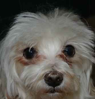 Tear Stains In Shih Tzu Dogs Dog Tear Stains Dog Eyes Maltese Dogs