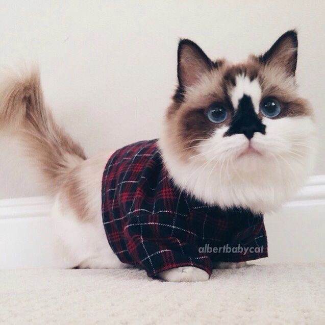 Albertbabycat The Munchkin Cat In Our Winter Flannel Designed For - Meet albert the cutest munchkin cat on the internet