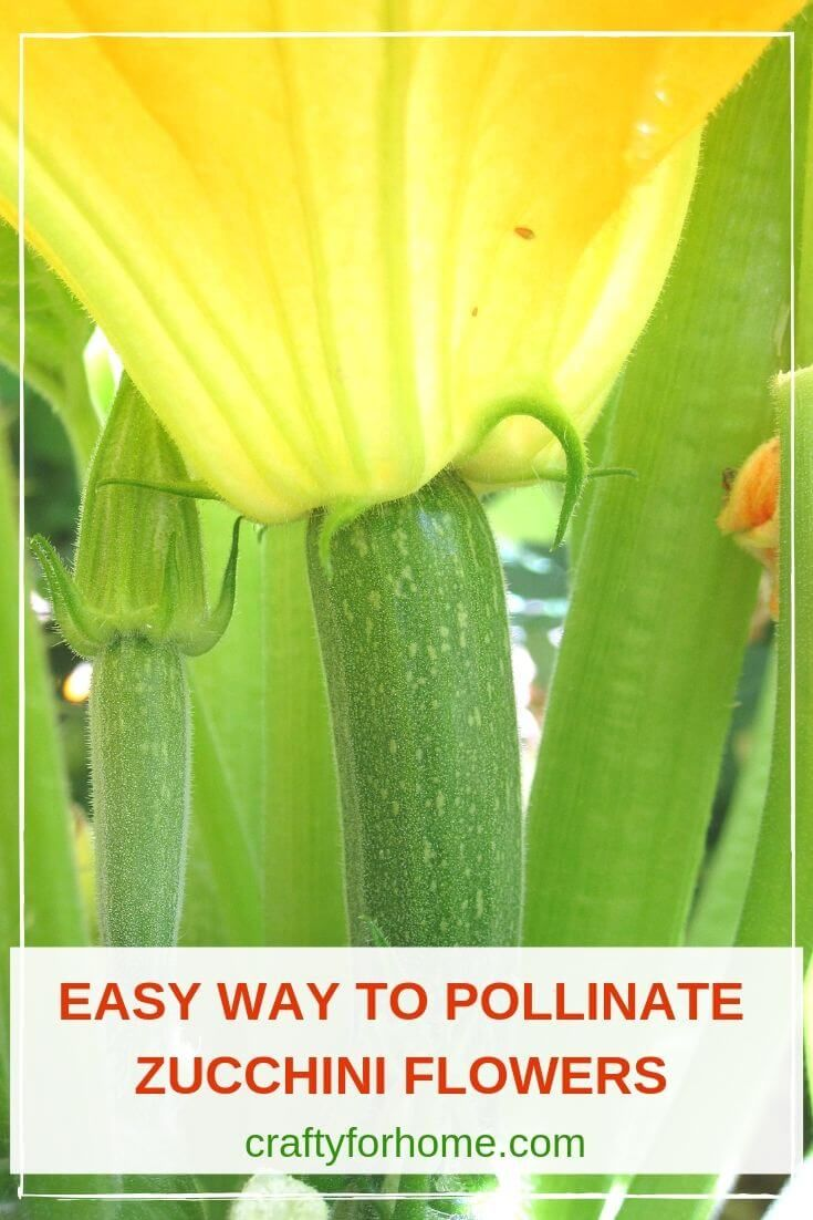 How To HandPollinate Zucchini Flowers is part of Zucchini flowers, Zucchini plants, Container gardening flowers, Vegetable garden tips, Edible garden, Growing vegetables - This gardening tip is for how to handpollinated zucchini flowers when there are no pollinators in the garden