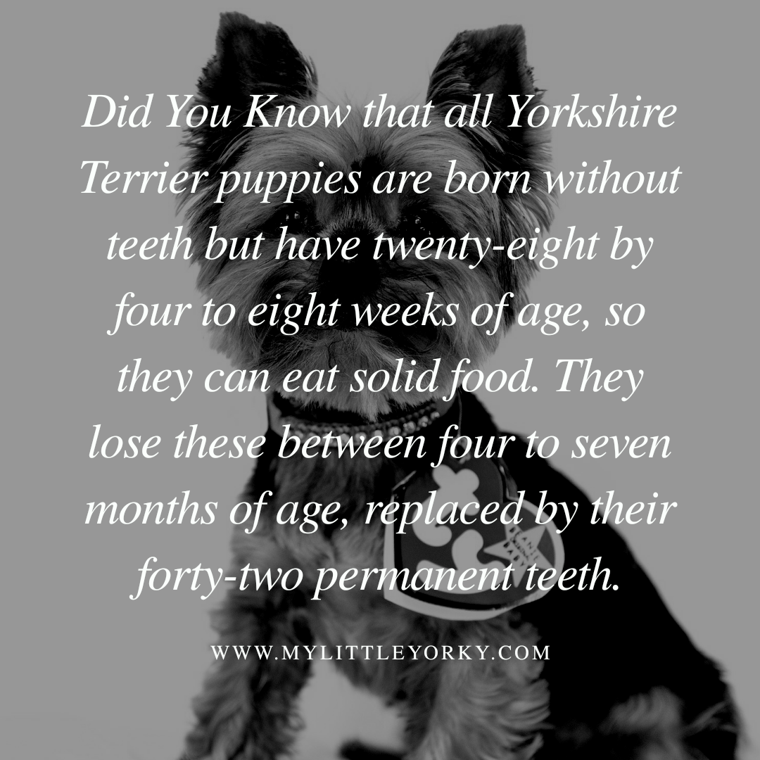 Did You Know that all Yorkshire Terrier puppies are born