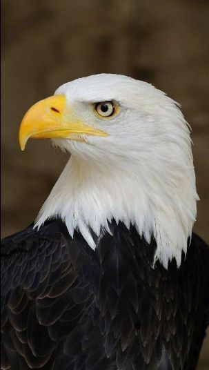 Cool Bald Eagle Bald Eagles Pinterest Bald Eagle Eagle And Bird