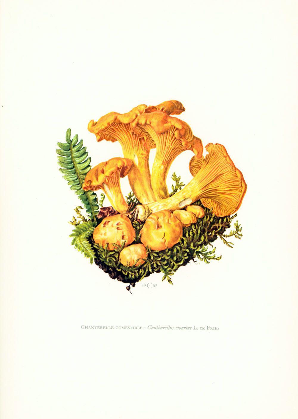 1962 Golden Chanterelle - Cantharellus cibarius Mushroom print ...