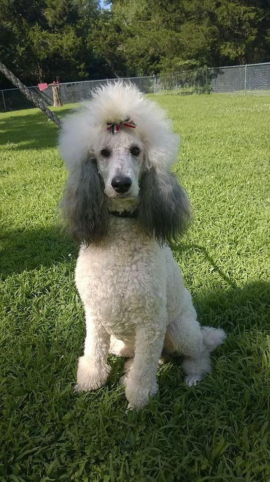 Gracie Poodle Dog Poodle Standard Poodle