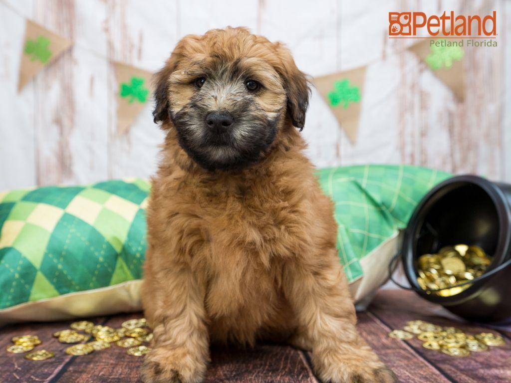 Petland florida has soft coated wheaten terrier puppies