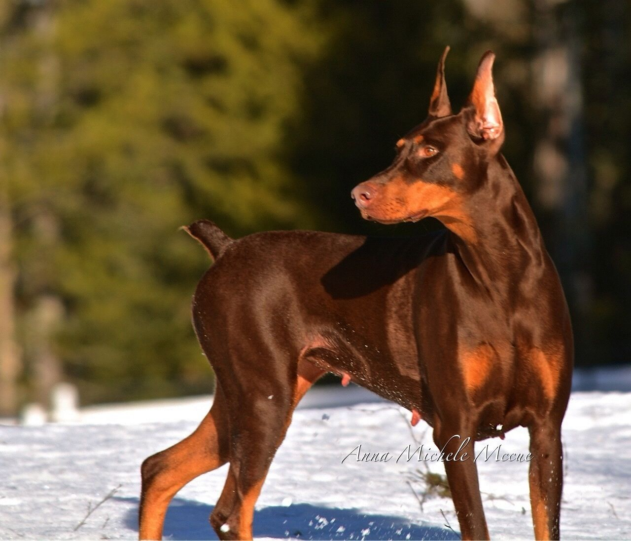 Pin on Photographs I have taken of my Dobermans who I love