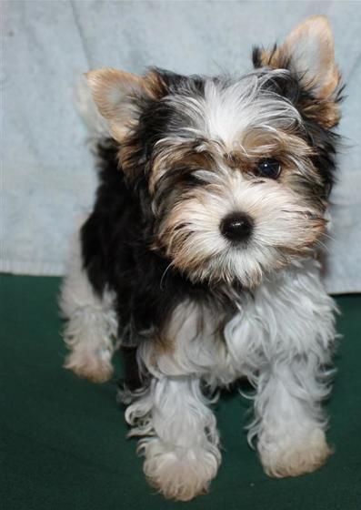 Biewer Terrier I Want One Kleine Hunde Hunderassen Yorkie Welpen