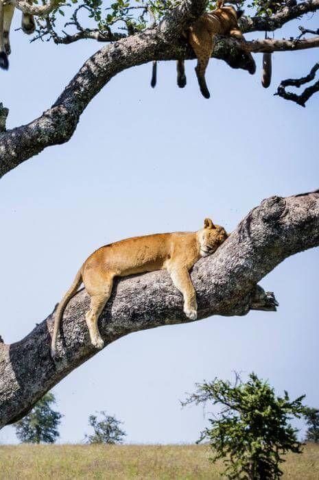 Cobby Jo Clow, lions, arbre, Serengueti, Tanzanie-