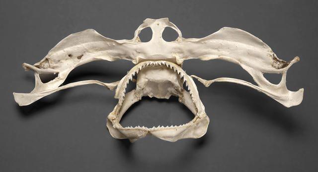 Hammer Shark Skull Skeleton Google Search Aquatica Pinterest
