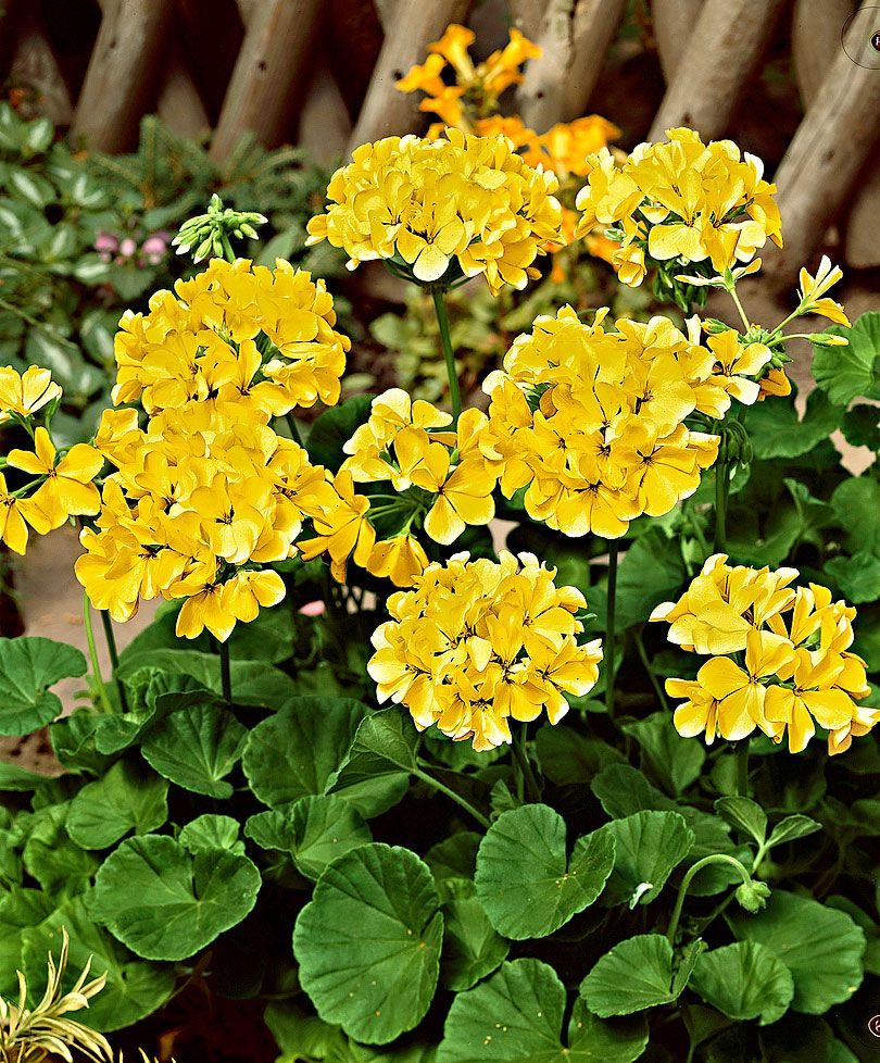 Lantana Kopen Gerani Gialli Pelargonium Yellow Piante Bakker Interesting