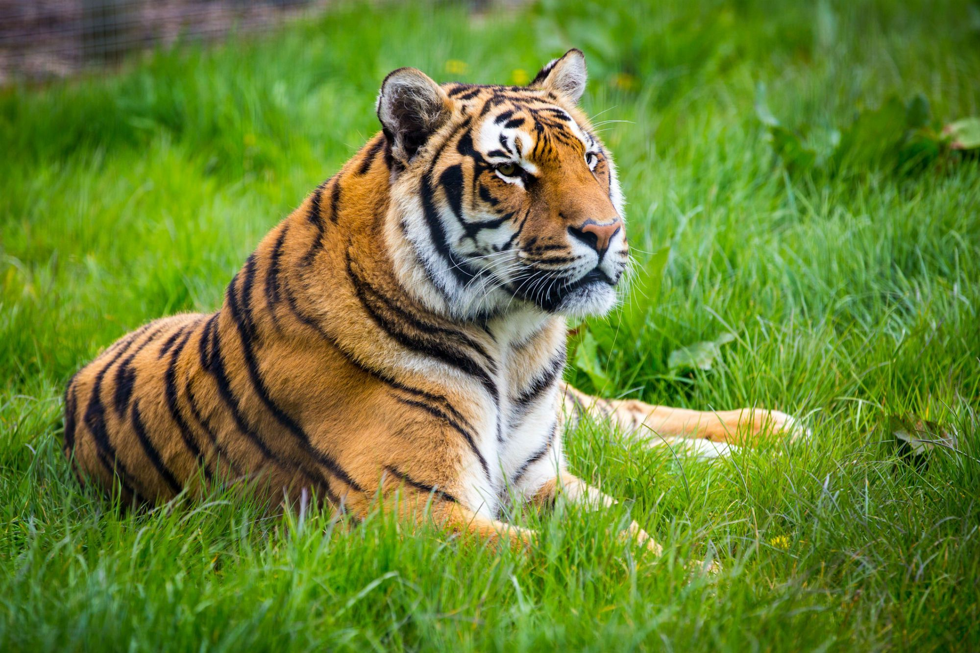 Tiger Images Free Download Beautiful Tiger Latest HD