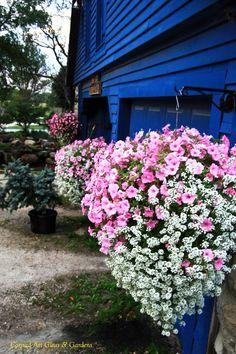 Petunias Million Bells And Geraniums Plants For Hanging Baskets Hanging Garden Hanging Plants Outdoor