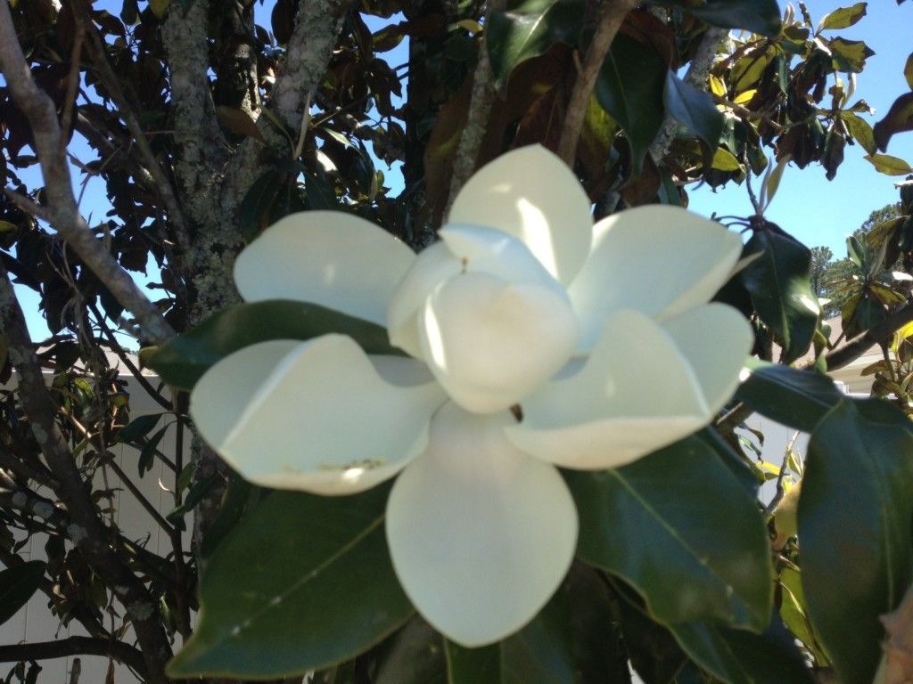 The Beauty of Magnolia Flowers | Deciduous trees, Magnolia trees and ...