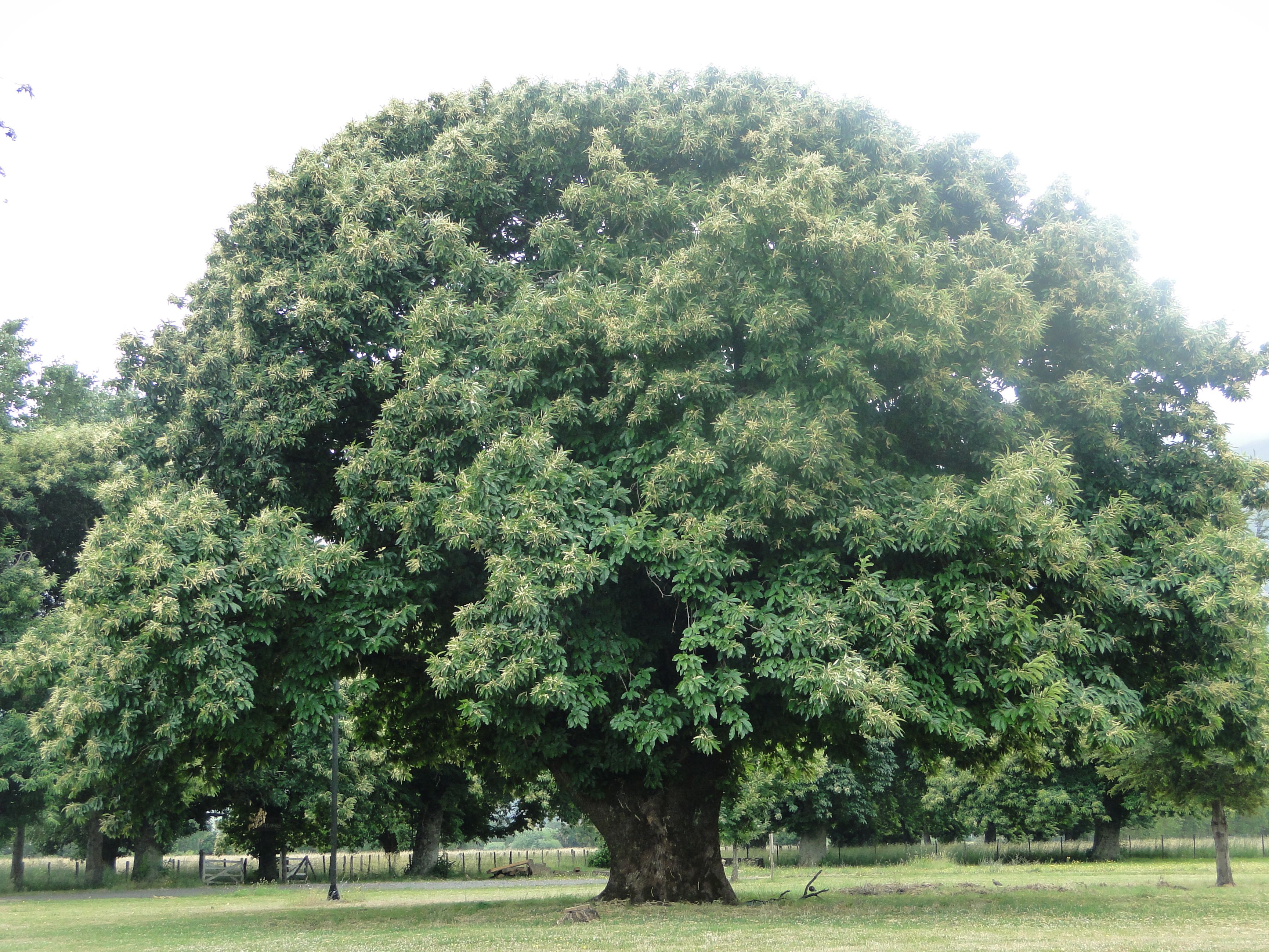 Casta o fundo los alamos puc n chile la foto es m a for Imagenes de arboles ornamentales
