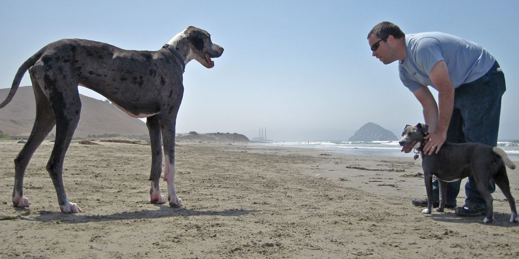 Love love love Great Danes, really nice dogs.