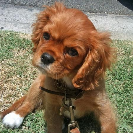 ruby cavalier king charles spaniel....how could anyone resist this sweet little face???