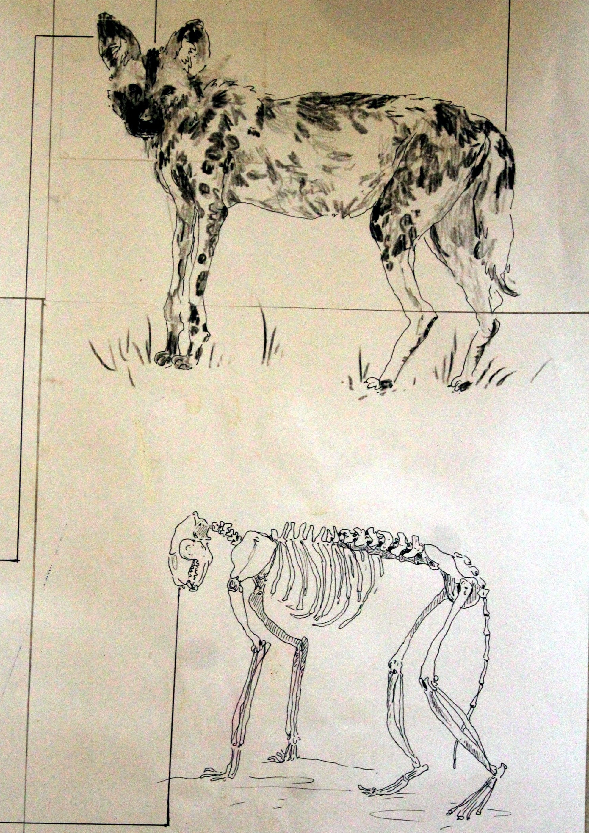 African wild dog anatomy the wild dog skull is heavy with strong muscles and modified upper incises which give a very powerful bite