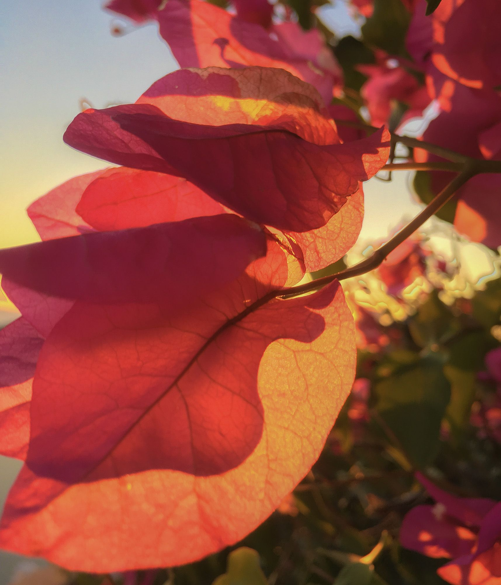 A suggestion of sunset through Bougainvillea blossoms...