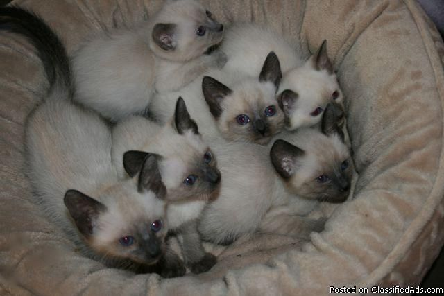 Applehead Siamese Cats Beautiful Applehead Siamese Kittens