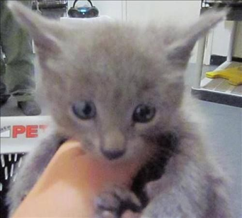 13990 Adopt fee $50 Adoptions on Tuesdays ONLY $10! Domestic Medium Hair Mix: An adoptable cat in Dallas, GA Female Primary Color: Grey Age: 0yrs 0mths 0wks Pet ID: 13990 http://www.petfinder.com/petdetail/26407621 PAULDING COUNTY ANIMAL CONTROL in DALLAS, GEORGIA 779 Industrial Blvd Dallas, GA Phone Contact: 770-445-1511 Email Contact: aculberson@paulding.gov kguillot@paulding.gov FAX# 770-505-1368