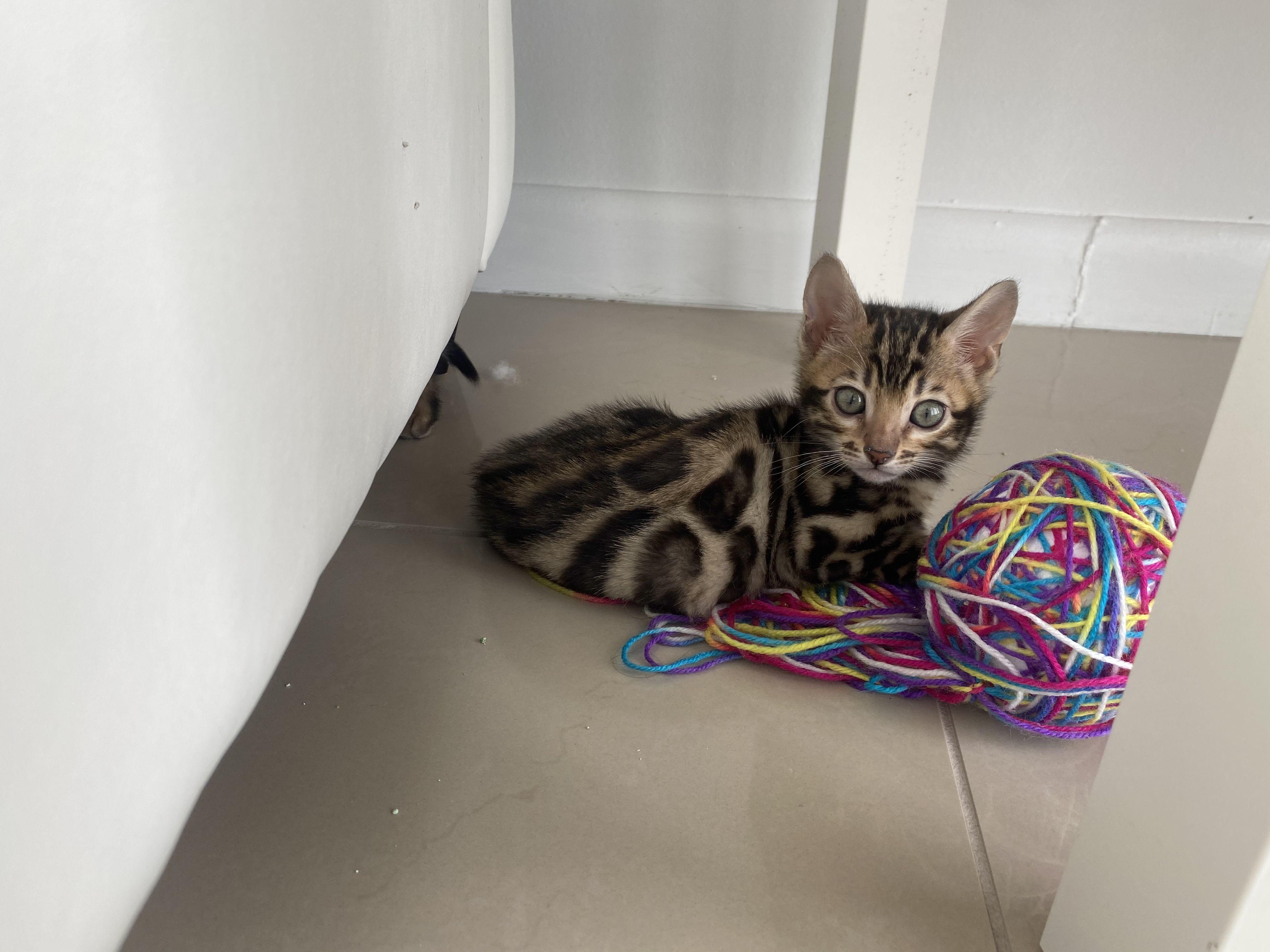 Pretty bengal kitten in 2020 Bengal kitten, Savannah cat