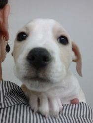 Adopt Albert On Pitbull Terrier Bull Terrier Dog Baby Animals
