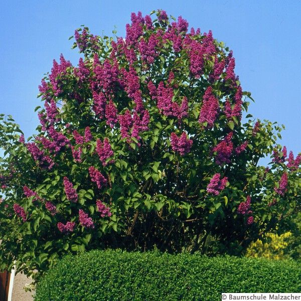 Charles Joly Lilac