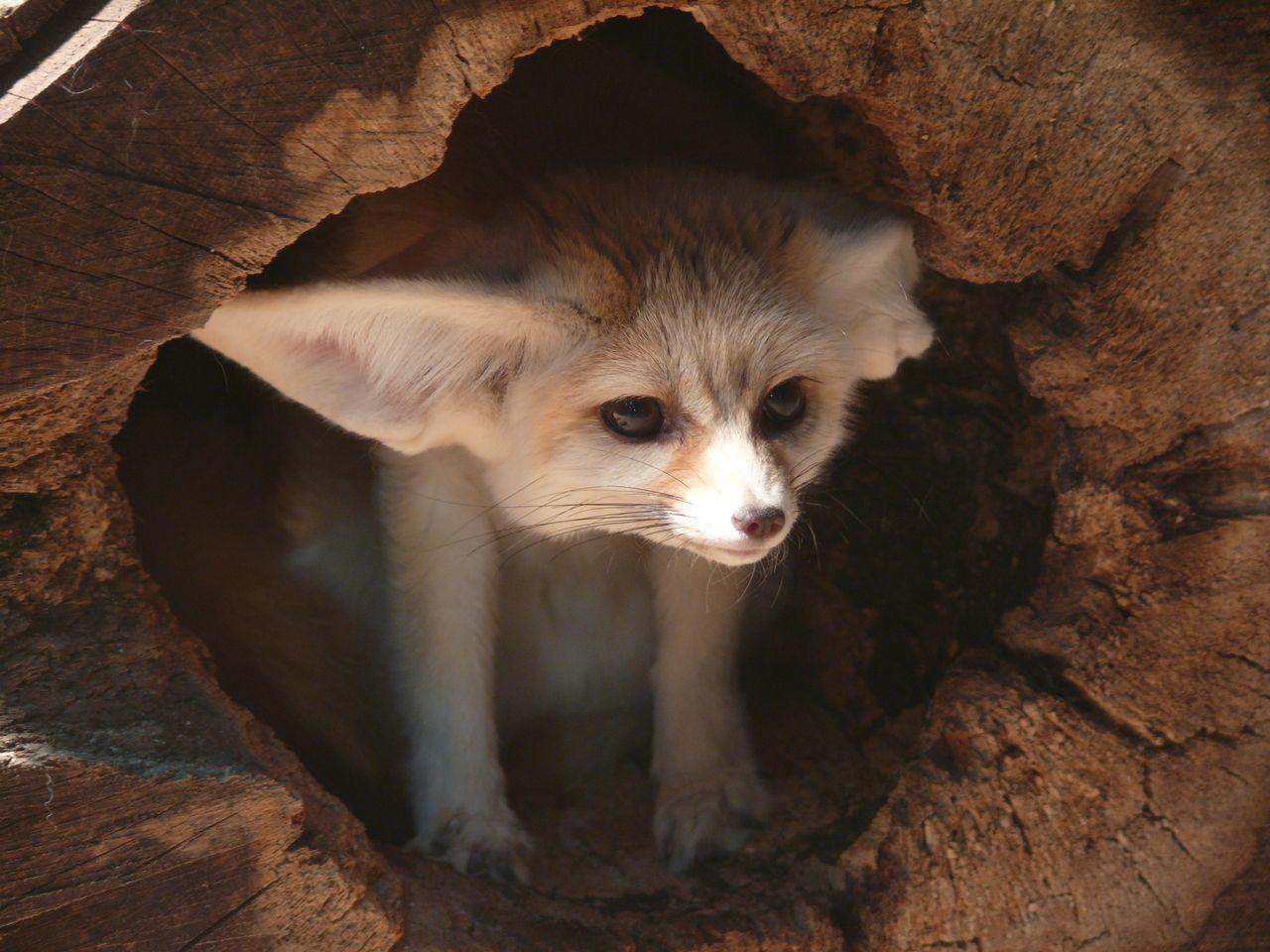I Wander Why I Hear So Good Susse Tiere Fennek Fennek Fuchs