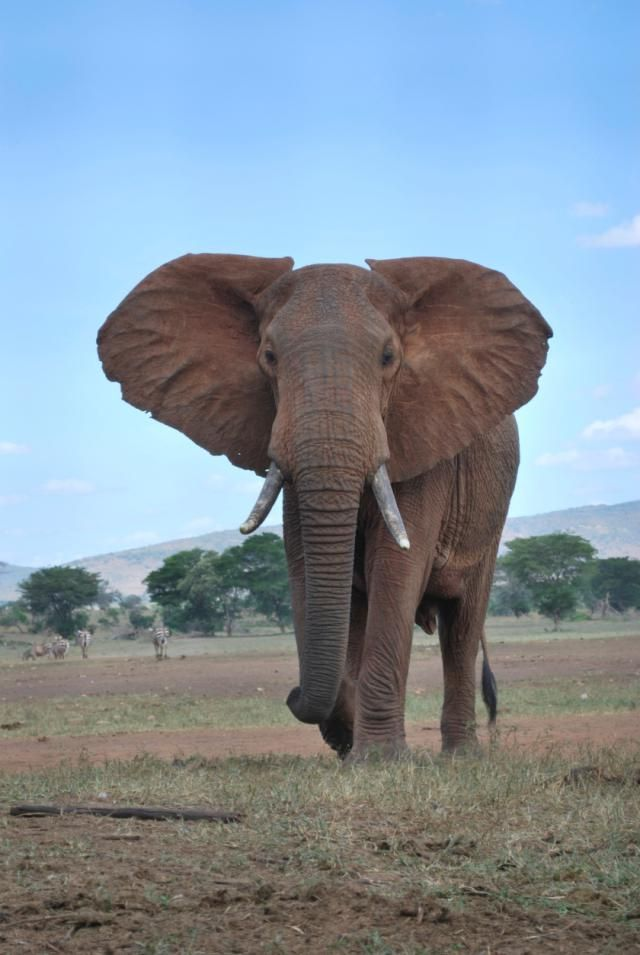California Casualty Insurance Company Review African Elephant