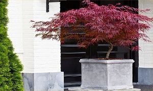 4Japanese Maple Acer Trees £29.99