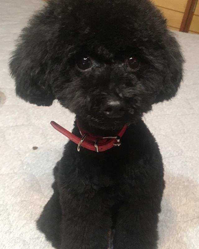 セナくん トリミングに行ってきた トイプードル トイプードル黒 トイプードルブラック わんちゃん イヌ 犬 いぬ かわいい 愛犬 姫路 ワンコ セナくん セナ トイプードル ブラック トイプードル プードル