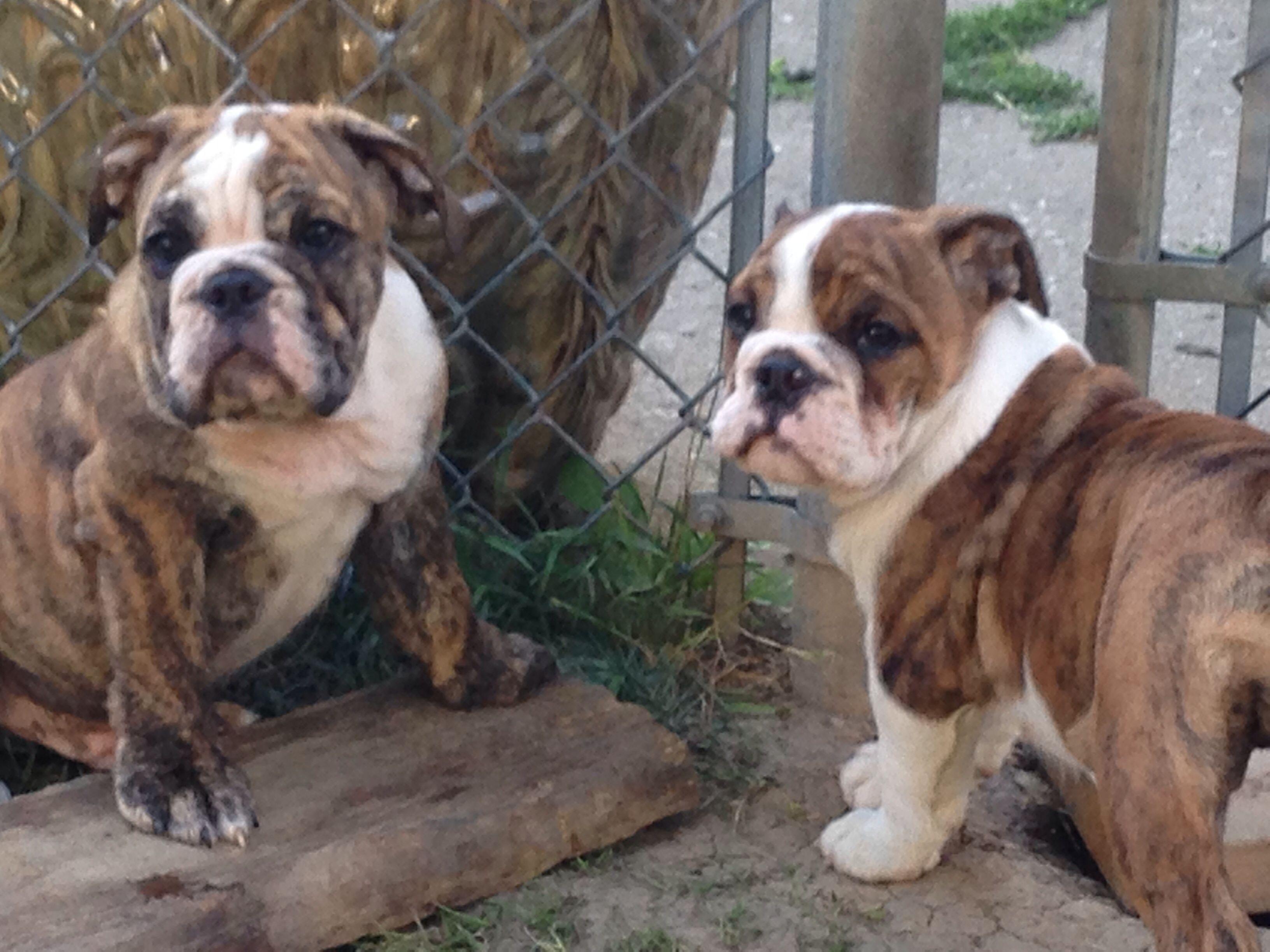 Bullie pups english bulldog bulldog puppies