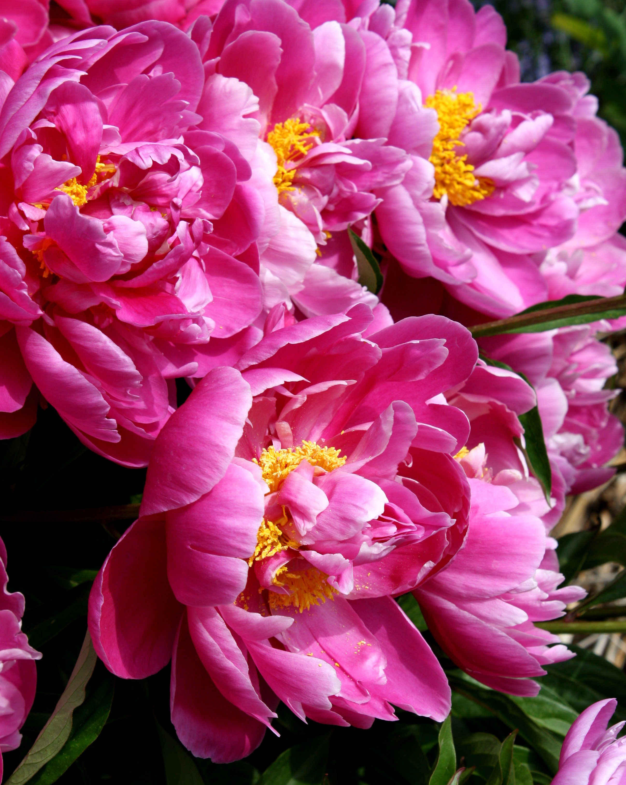 the peony is a perennial shrub that blooms each summer with big