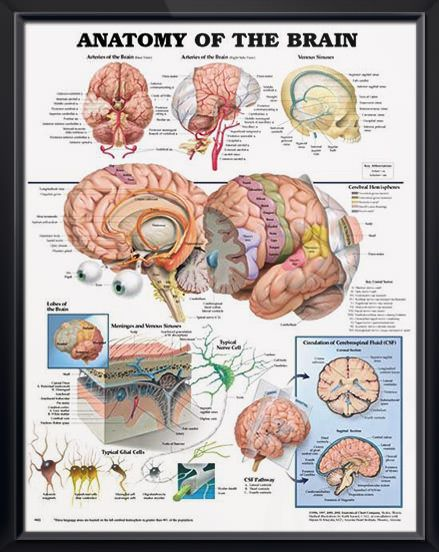 Anatomy of the brain chart 20x26 pinterest brain injury anatomy of the brain anatomy poster depicts base and right side views of arteries of the brain as well as venous sinuses head chart for neurologists ccuart Choice Image