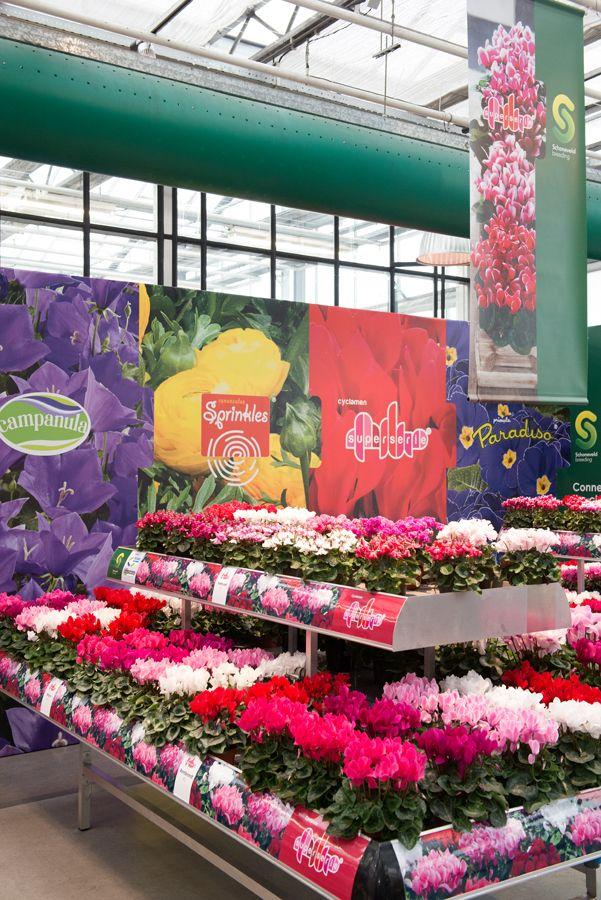 overview cyclamen Super Serie at @FlowerT