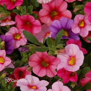 Calibrochoa Hawaiian Flamingo Looks Like A Mini Petunia But Smells Better Attracts Butterflies Hummingbirds Blooms Beautiful Flowers Flowers Plants