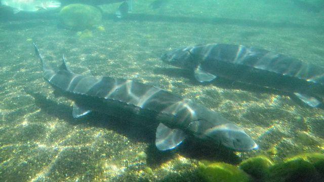Wels catfish for sale aquarium | For sale bullhead catfish