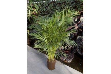 Areca (chrysalidoc.) lutescens 125cm / Hydrokultur