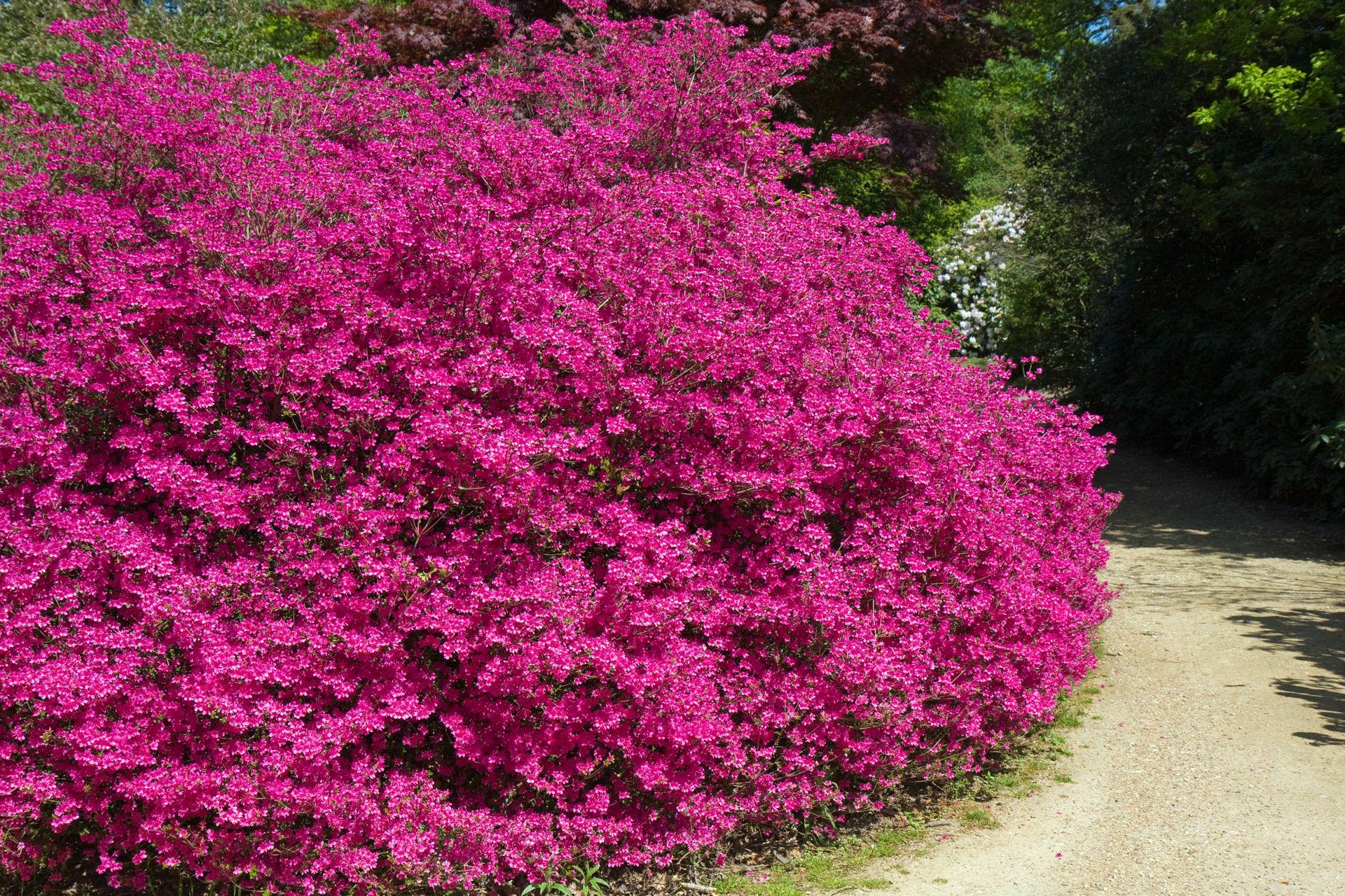 Pink flowering bush ekler 2 pinterest pink flowering bushes pink flowering bush mightylinksfo