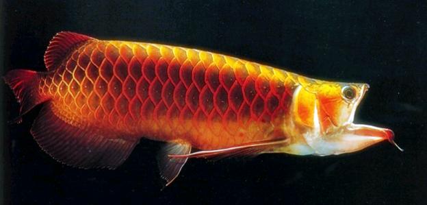 Pin On Ikan Arwana