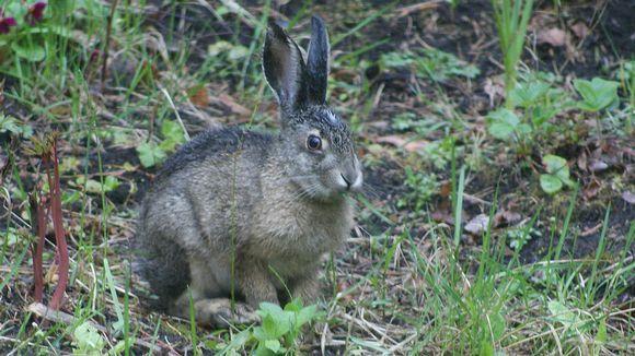 Rusakkoa esiintyy paljon Etelä-Suomessa ja sitä on aikaisemmin kutsuttu peltojänikseksi. Rusakko hakee ravintoaa pelloilta ja talvella se syö puiden kuoria.