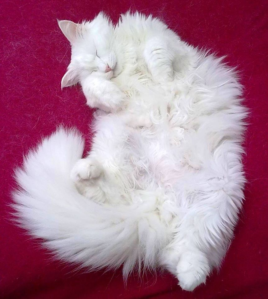 angora cat pets pinterest t rkisch angora katzen. Black Bedroom Furniture Sets. Home Design Ideas