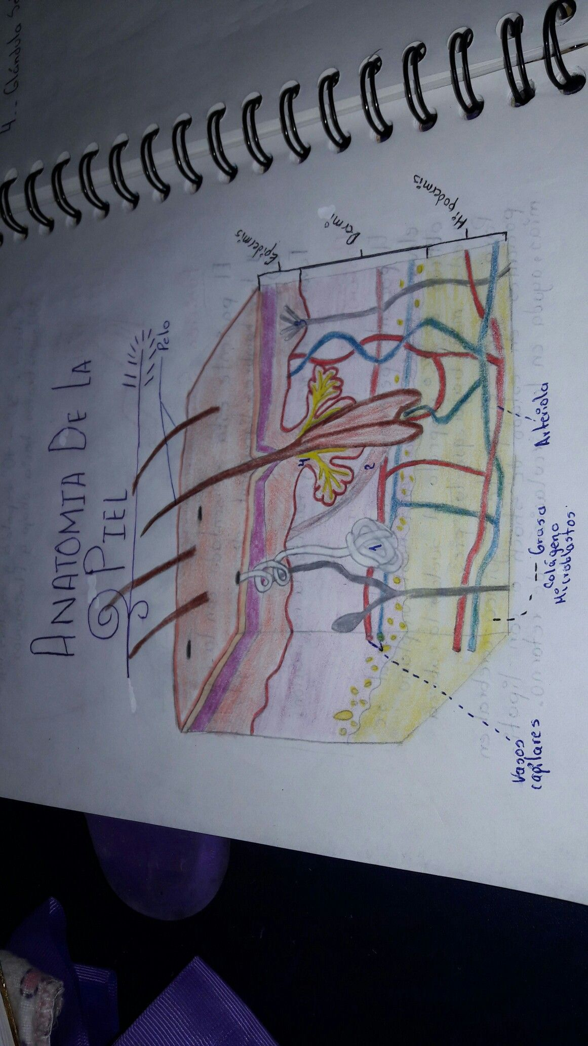 Anatomía de la piel | Anatomía de la piel | Pinterest | Anatomía de ...