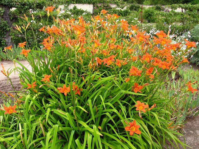 h m rocalle lis d 39 un jour hemerocallis fleur pinterest jardins plantes et jardinage. Black Bedroom Furniture Sets. Home Design Ideas