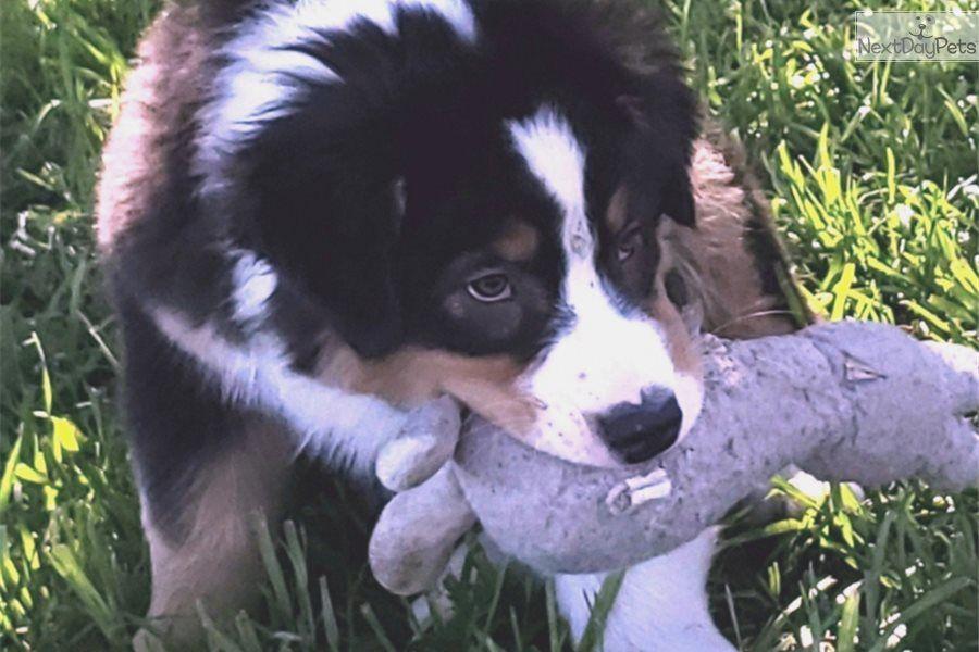 Kane Australian Shepherd Puppy For Sale Near Dallas Fort Worth Texas 7dedb1a5 5f61 Australian Shepherd Working Dogs Shepherd Puppies