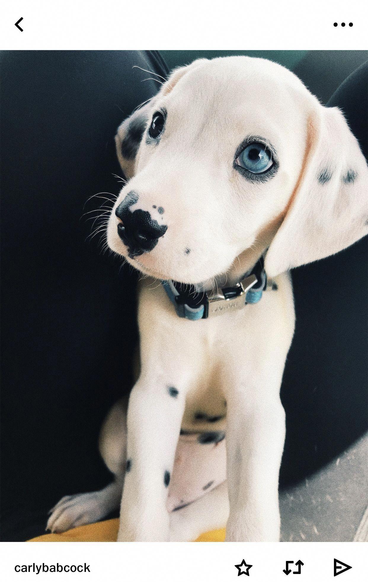 Presa Canario Puppies Red Rock Kennels Big Dogs Correct