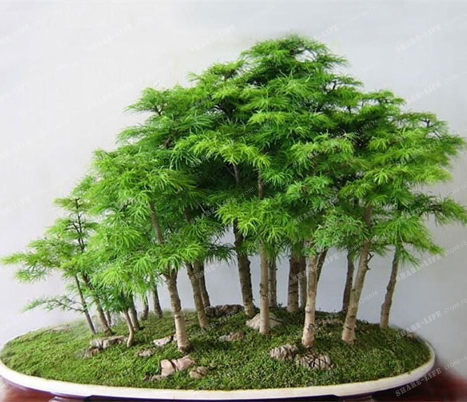 Seeds Shade And Other Perfect Horticulture Ideas Bonsai Tree Bonsai Tree Types Bonsai Plants